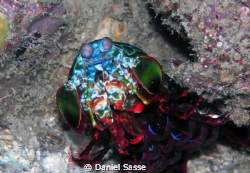 Mantis Shrimp Shot at the Phi Phi Islands Camera Model Se... by Daniel Sasse 